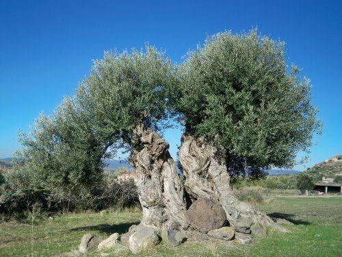 Sono circa 6 milioni gli esemplari di ulivi monumentali in Puglia
