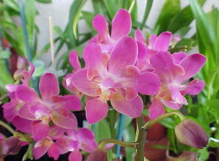 Orchidea:bellezza in fiore
