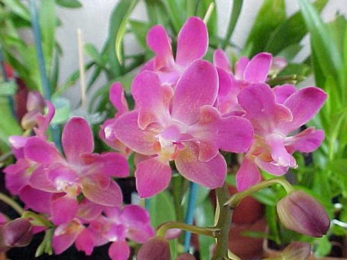 Orchidea:bellezza in fiore
